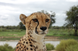 Kiki the cheetah at Naankuse1