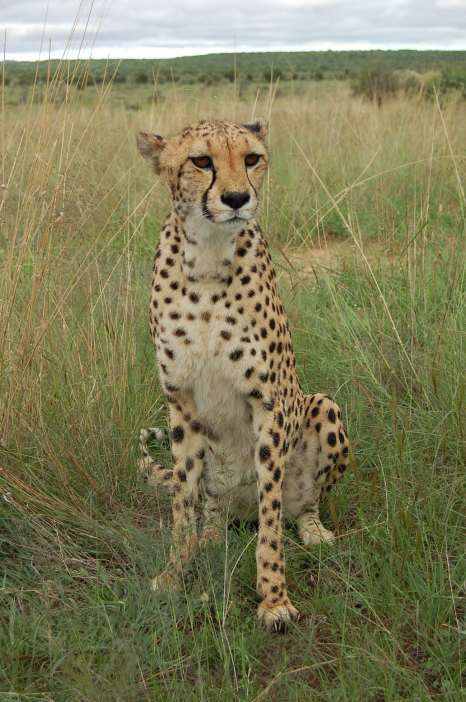 Kiki the cheetah at Naankuse2